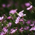 写真: 散歩で見つけた花 オキザリス?