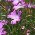 写真: 散歩で見つけた花 ムギセンノウ