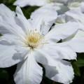 写真: 散歩で見つけた クレマチス白