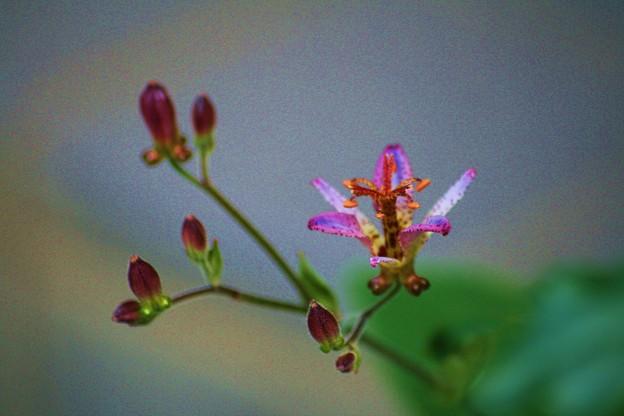 ホトトギスが咲きました(1) (v^ー°) 台湾ホトトギス清龍