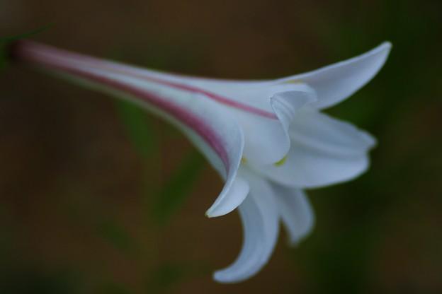 高砂百合(タカサゴユリ)…歩く姿はユリの花