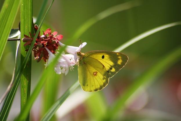 モンキチョウ (お花はアベリアです)