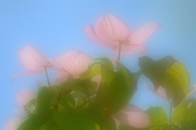 ピンクのヤマボウシ2