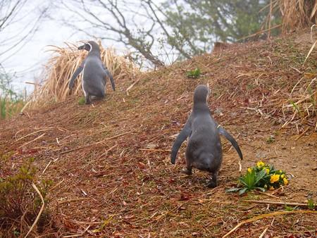 20140330 ペンヒル 雨のペンギンヒルズ07
