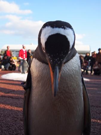 20131207 アドベン ペンギンパレード18