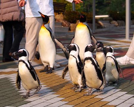 20131206 アドベン ペンギンパレード06