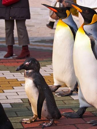 20131206 アドベン ペンギンパレード07