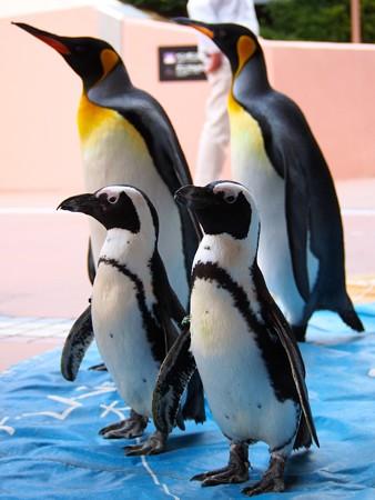 20131206 アドベン ペンギンパレード09