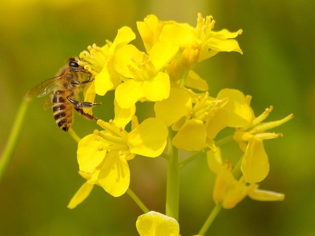 Photos: 春菜蜂