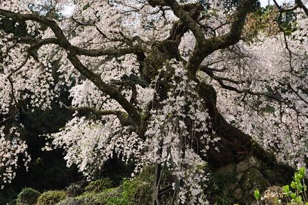 瀧蔵神社の権現桜3