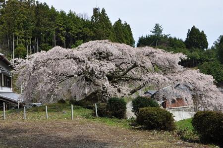 瀧蔵神社の権現桜4