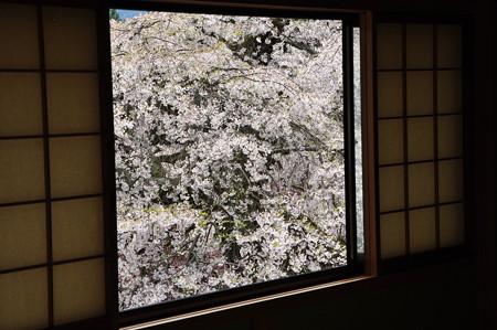 瀧蔵神社の権現桜9