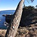 Photos: 海へ向かって伸びる松