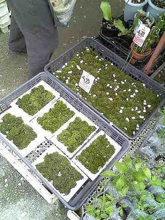 20090412 大阪城公園の植木市の山苔