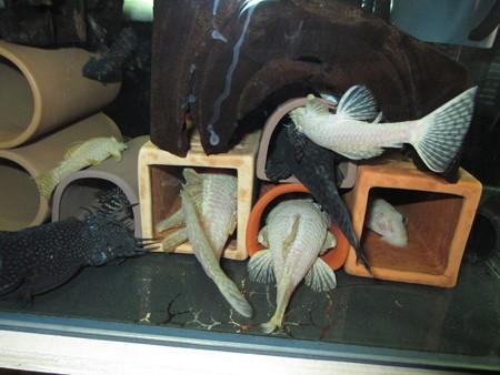 20140421 45cmプレコ水槽のプレコ達