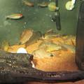 Photos: 20140619 60cmコリドラス水槽のコリドラス達