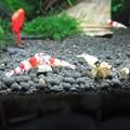 Photos: 20140702 60cmエビ水槽の道産子海老さんのモニター餌の食い付き