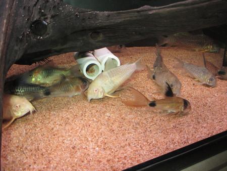 20140703 60cmコリドラス水槽のコリドラス達