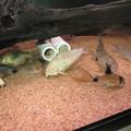 Photos: 20140703 60cmコリドラス水槽のコリドラス達