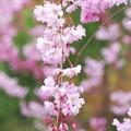 Photos: 紅枝垂れ桜