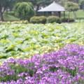 白鷺公園ハナショウブ園12