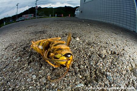 キイロスズメバチの死