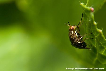 ハエの一種