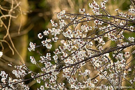 梅の花2008_2