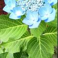 Photos: 空色ポストと青紫陽花。
