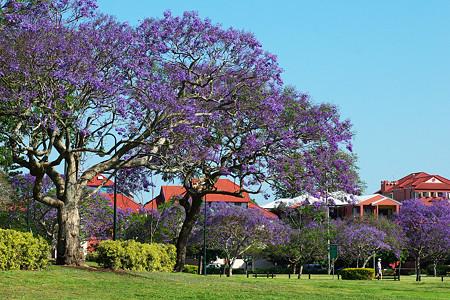 【Jacaranda mimosifolia 】 (ジャカランダ)      New Farm Park (Brisbane・ブリスベン) にて     0021