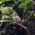 七面山の猿