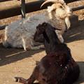 夢見ヶ崎動物公園のヤギ