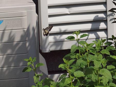 アゲハチョウの舞い