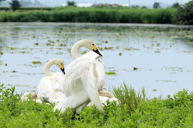 水無月 白鳥