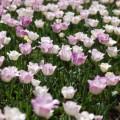 Photos: tulip field