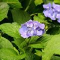 紫陽花の花が咲く頃