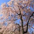 Photos: IMG_6408京都府立植物園・紅枝垂桜