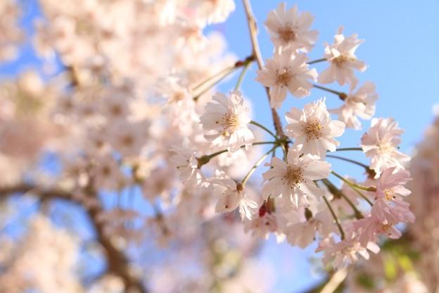 IMG_6437京都府立植物園・紅枝垂桜