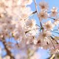 Photos: IMG_6437京都府立植物園・紅枝垂桜