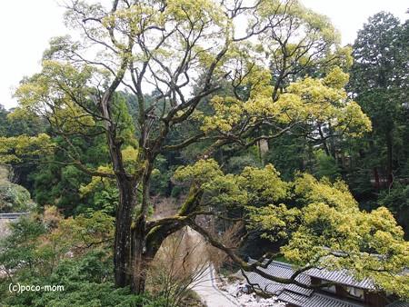 円教寺の楠2014年04月12日_P4120149