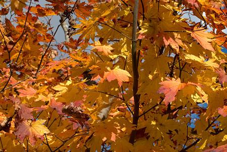 ご近所の木の紅葉
