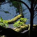 Photos: 柿田川公園にて