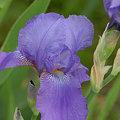 薄紫に咲く^^