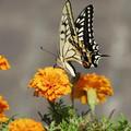 黄色が好き アゲハ蝶