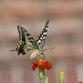 花に止まって?! アゲハ蝶
