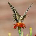 花に止まって!!アゲハ蝶