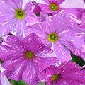 写真: 2009-03-15  プリムラ オブコニカ
