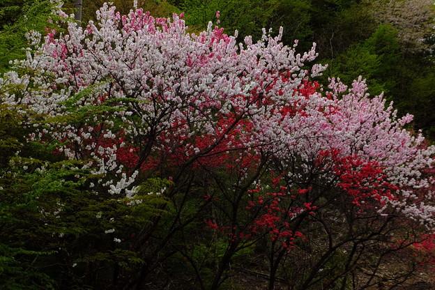 桃の花はあれだけ美しいにも関わらず黙して何も語らず、といいますか基本的に植物は喋りませんよね、常識