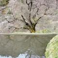 九郎判官義経殿の駒つなぎの桜  五分咲き