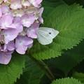 Photos: 紫陽花とモンシロチョウ